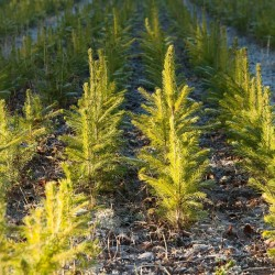 Forestry (young spruces)